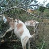 grace climbing and eating downed poplar treat for goat