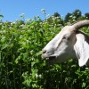grace goat grazing cover crops
