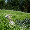 grace goat in sea of cover crop