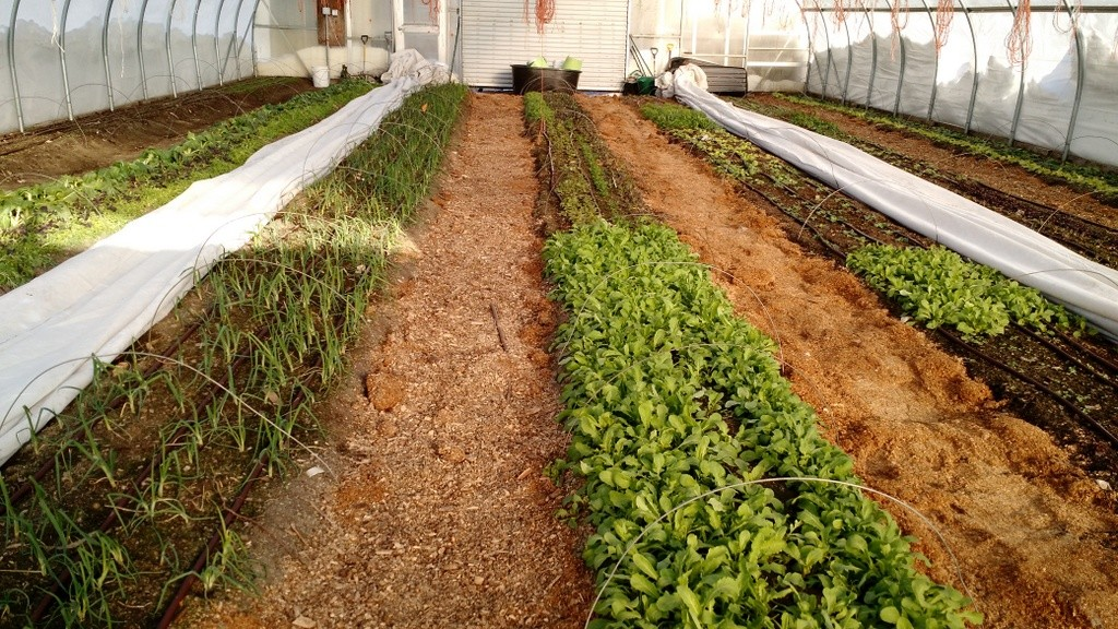 hoophouse-greens-january