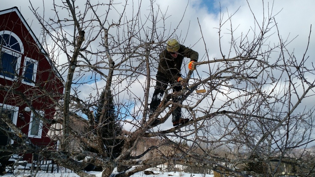 Nicko pruning apple orchard