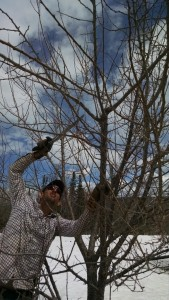 Nicko pruning orchard plum