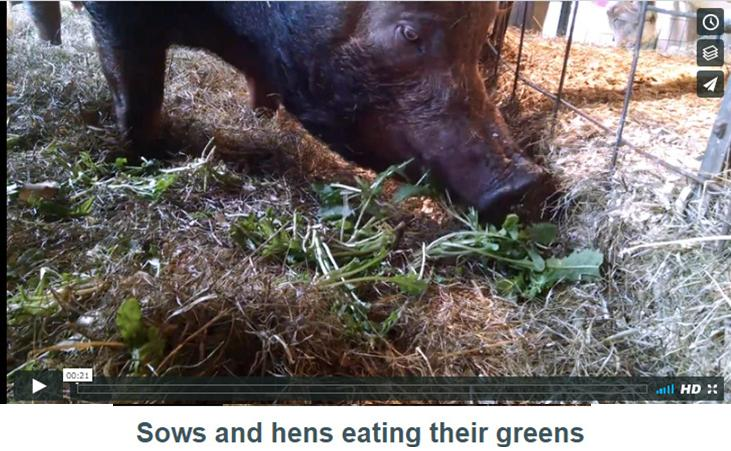 video image sows eating greens