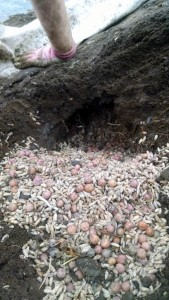 pea and oat seeds stashed underground by voles
