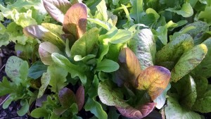 spring hoophouse lettuce greens