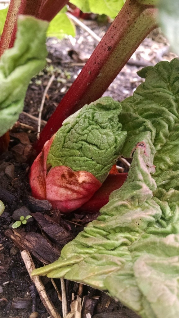rhubarb sprout