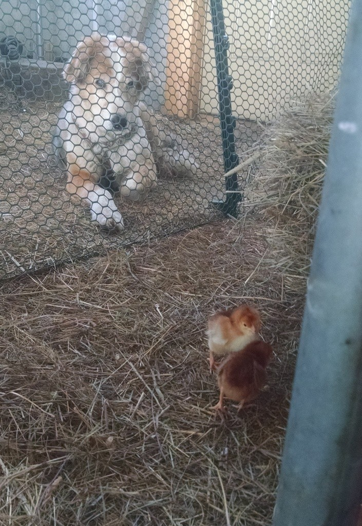 farm dog learning his new herd of chicks